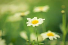 Unfocus weiße Blume der Gänseblümchen mit Naturleuchte Lizenzfreie Stockfotografie
