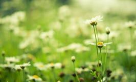 Unfocus weiße Blume der Gänseblümchen mit Naturleuchte Stockbilder