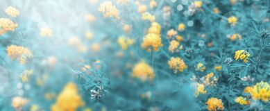 Unfocused floral background with bokeh effect and blurred sunlight. landscape of wild yellow flowers and sunrays