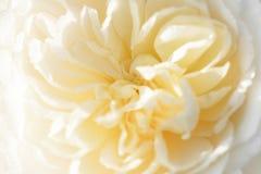 Unfocused plama koloru kremowych angielszczyzn różani płatki, abstrakcjonistyczny romansowy tło zdjęcie royalty free
