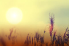 Unfocused Roggen bei Sonnenuntergang Lizenzfreies Stockbild