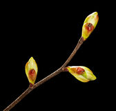 Unfolded buds on twig Stock Photo
