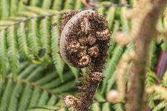 Unfolding fern frond Stock Photography