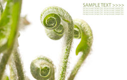 Unfolding fern fronds Stock Images