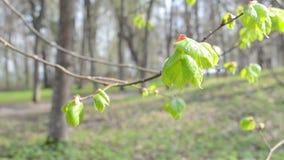 Unfolding linden leaf stock video