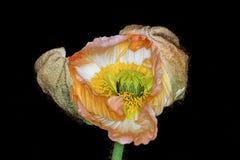 Unfolding orange Poppy flower with black background. Stock Photography