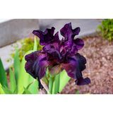 Unfolding purple Iris flower stock image