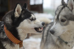 Unfortunate acquaintance of two dogs - the good and the evil Royalty Free Stock Photography