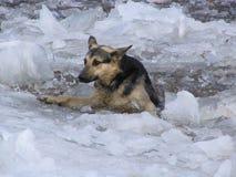 Unfortunate dog. Dog fallen under ice stock photography
