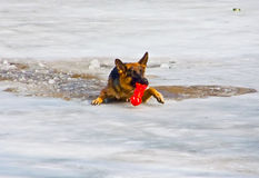 Unfortunate dog in the water Royalty Free Stock Image