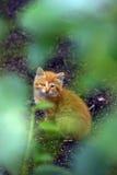 The unfortunate ginger kitten Royalty Free Stock Photo