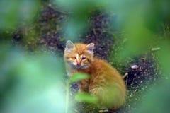 The unfortunate ginger kitten Royalty Free Stock Image