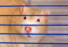 Unfreedom. Red rat close up behind a lattice Royalty Free Stock Image