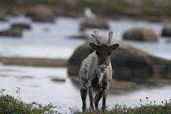 Unfruchtbar-Bodenkaribu, das auf Tundra nahe Wasser im Spätsommer steht stockfotografie