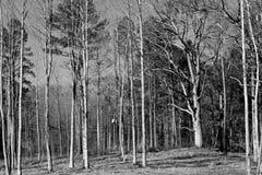 Unfruchtbare Bäume im Wald Stockbilder