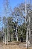 Unfruchtbare Bäume im Wald Lizenzfreies Stockfoto