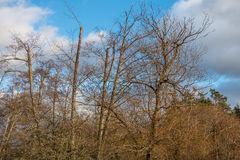 Unfruchtbare Bäume mit blauem Himmel Stockbild