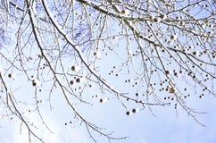 Unfruchtbare Schnee-mit einer Kappe bedeckte Baumaste an einem sonnigen Wintertag Stockfoto