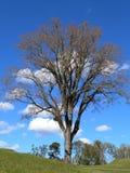 Unfruchtbarer Baum Stockbild