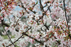 Unfruchtbarer Birnen-Baum Lizenzfreie Stockfotografie