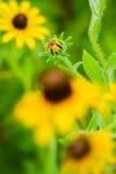 Unfruited zwart-Eyed Susan wildflower Royalty-vrije Stock Afbeeldingen