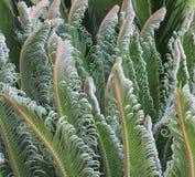 Unfurling Cycad/φύλλα Cicad Στοκ Φωτογραφία