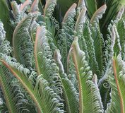 Unfurling Cycad / Cicad fronds Stock Photography