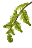 Unfurling Fern Stock Photography