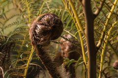 Unfurling fern frond Stock Images