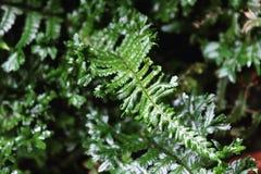 Unfurling fern leaf Royalty Free Stock Image
