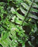 Unfurling fern leaf Royalty Free Stock Photos
