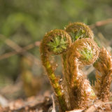 Unfurling fern shoots Stock Photography
