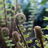 Unfurling Spiral Fiddlehead Fern Frond Royalty Free Stock Image