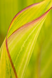 Unfurling Spring Leaf Royalty Free Stock Photo