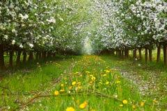 Ung äpplefruktträdgård Arkivbilder
