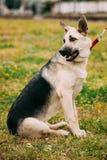 Ung öst - utomhus- Dog Sitting In för europeisk herde grönt gräs arkivbilder
