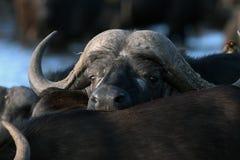 Ung afrikansk buffel som ser över baksidorna av tjurar arkivfoton