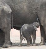 Ung afrikansk elefant Fotografering för Bildbyråer