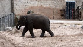Ung afrikansk elefant arkivfilmer