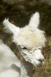 Ung Alpaca Royaltyfria Foton