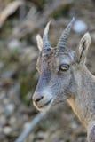 Ung alpin Ibex Royaltyfri Foto