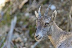 Ung alpin Ibex Royaltyfria Bilder