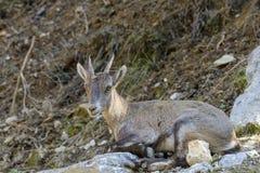 Ung alpin Ibex Arkivbilder