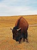 Ung amerikan Bison Buffalo i Custer State Park arkivbild