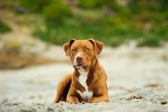 Ung amerikanPit Bull Terrier hund Arkivfoto