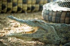 Ung amerikansk krokodil med den öppna munnen Arkivfoton