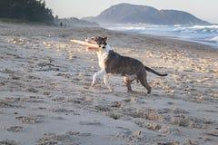 Ung amerikanska staffordshire terrier som spelar på stranden arkivbild