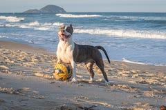 Ung amerikanska staffordshire terrier som spelar på stranden royaltyfri bild