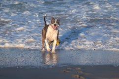 Ung amerikanska staffordshire terrier som spelar på stranden royaltyfri foto