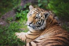 Ung amur tiger Royaltyfria Foton